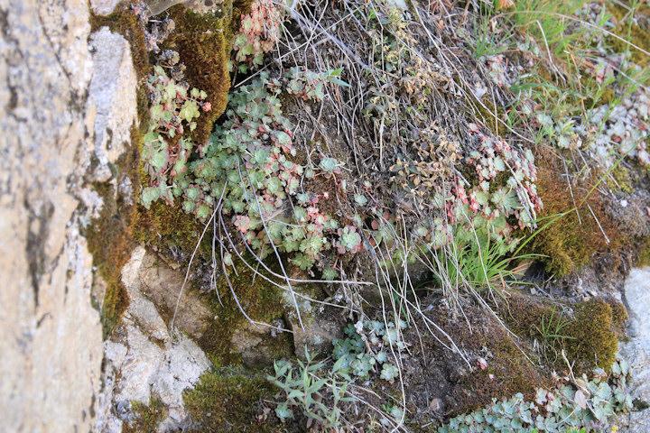 http://www.cnps-sgm.org/gallery/im_glendora_ridge1005/GMG02083-Sedum-C-m.jpg